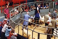[Cattle Auction]